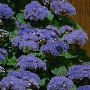 Ageratum Blue Annual Flowers Plants Tall Plants