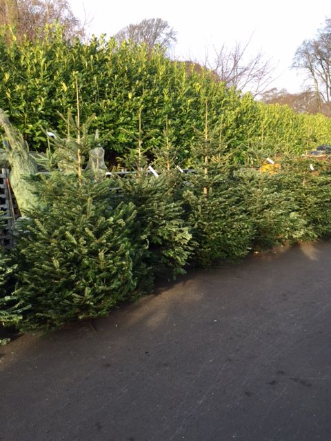 Pin On Real Christmas Trees At Johnstown Garden Centre