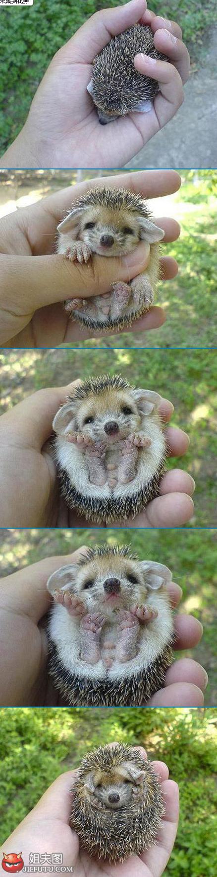 cute hedgehog~