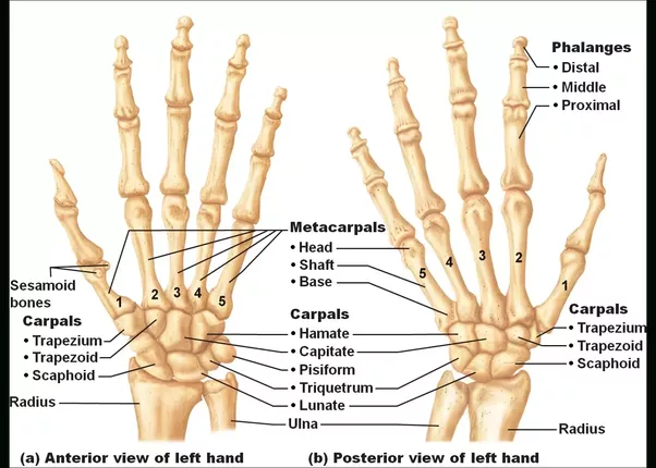 Pin By How To Relief On Draw Me In Anatomy Bones Hand Bone Hand Anatomy