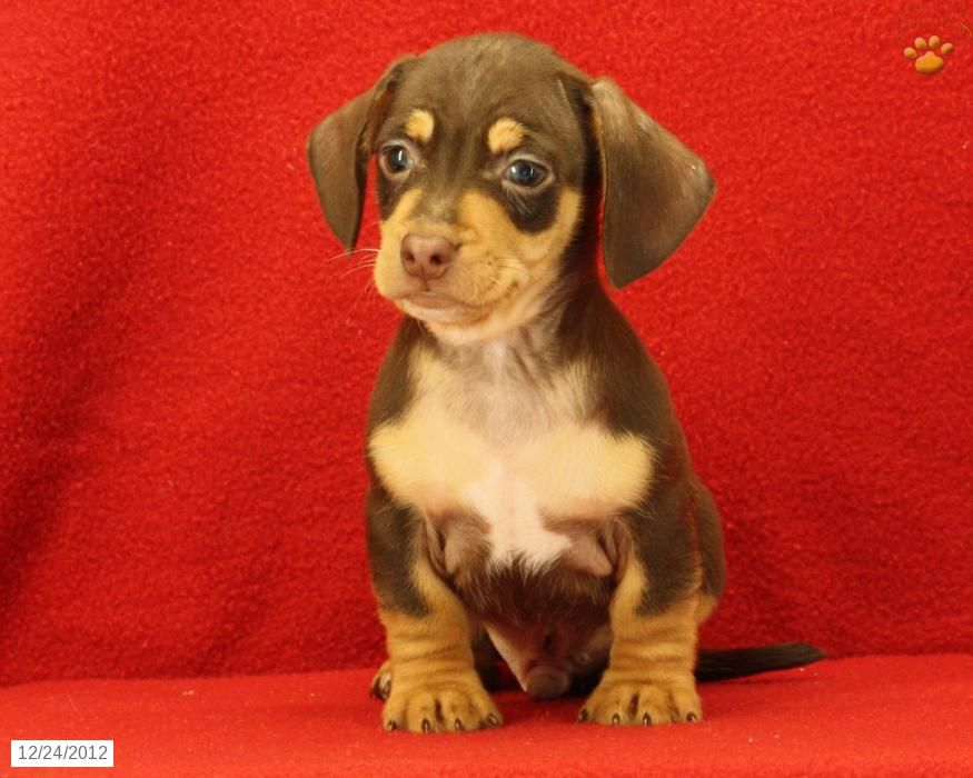 Chiweenies So Cute Chiweenie Puppies Lancaster Puppies