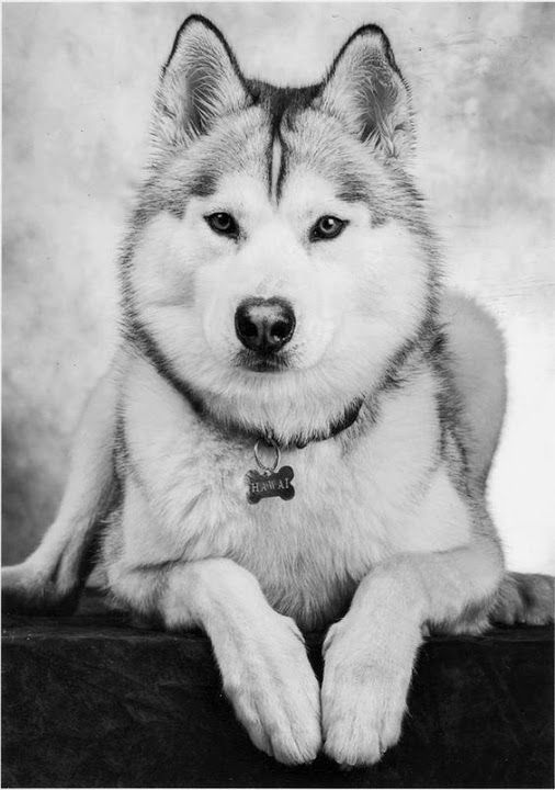 Beautiful Husky.... Relax with these backyard landscaping ideas and ...