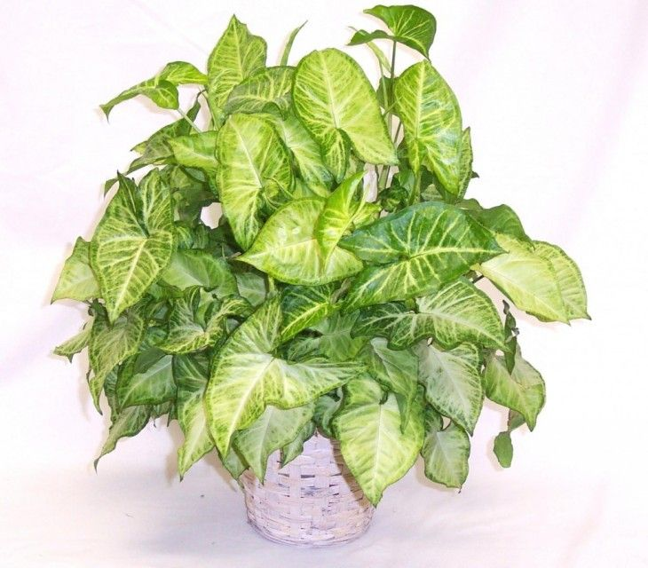 Use These Tips To Grow The Arrowhead Vine Arrowhead Plant Hanging Plants Indoor Plant Care