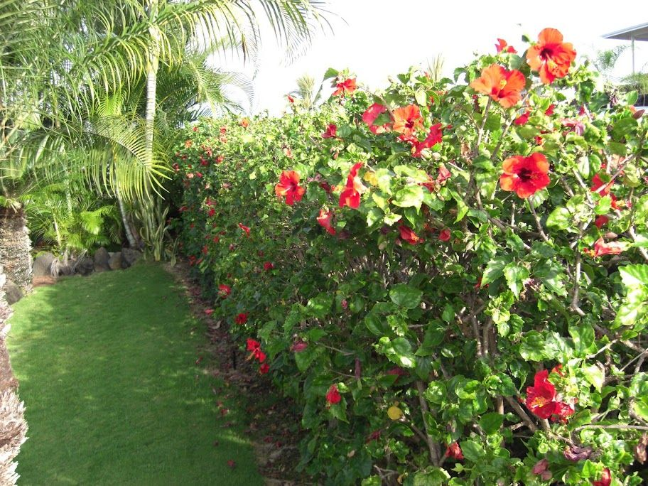 hibiscus hedge plants for the new yard pinterest. Black Bedroom Furniture Sets. Home Design Ideas