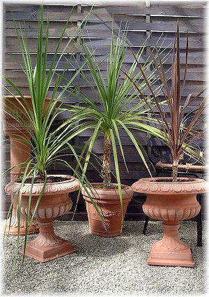 Keulenlilie Grunlaubig Cordyline Australis Palmen Pflanzen Lila Pflanzen Pflanzen