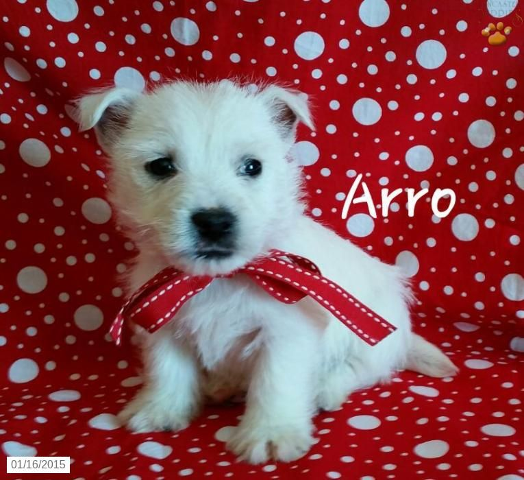 West Highland White Terrier Puppy For Sale In Ohio West Highland
