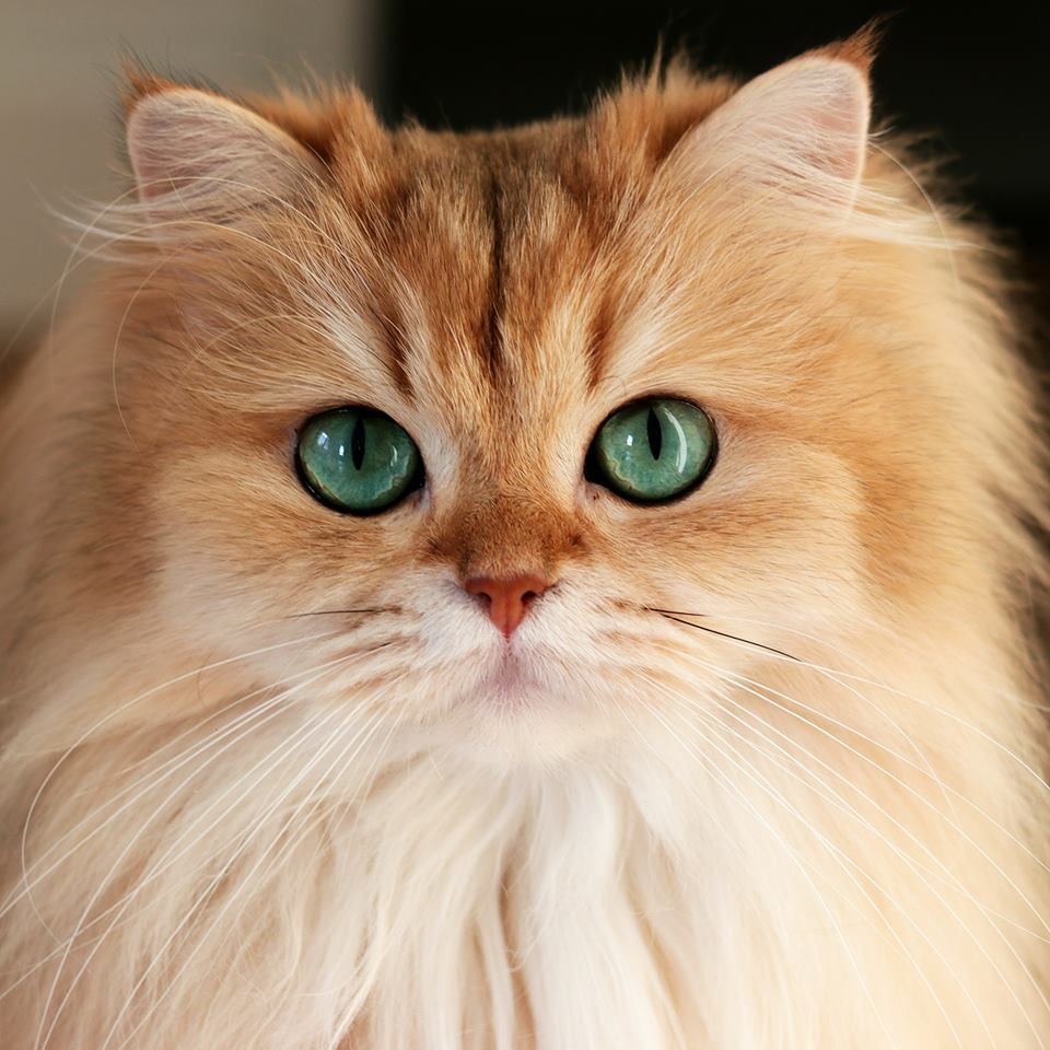 Golden British Longhair Cat Beautiful cats,