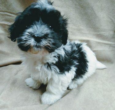 Havanese Puppy For Sale In Winston Salem Nc Adn 49211 On