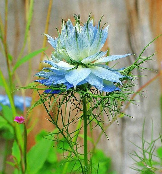 Love In A Mist Unusual Blue Flower Seeds Attract Butterfies 25 Seeds By Cheapseeds On Etsy Https Www Etsy Com Flower Seeds Unusual Flowers Annual Flowers