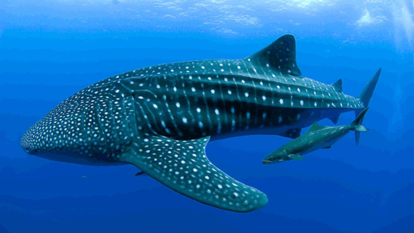 whale-shark-hd-wallpapers2 (png image, 1600 × 900 pixels