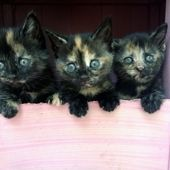2 Beautiful Female Rescue Kittens Left Ready For Adoption Female