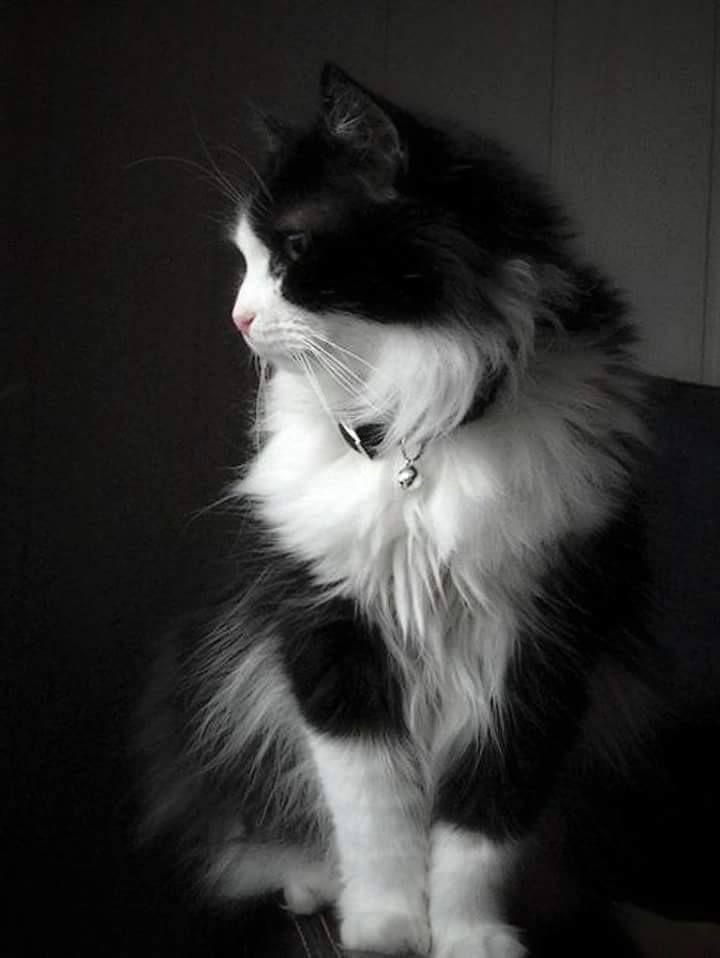Beautiful Angora Cats Turkish Angora Cat Beautiful Cats