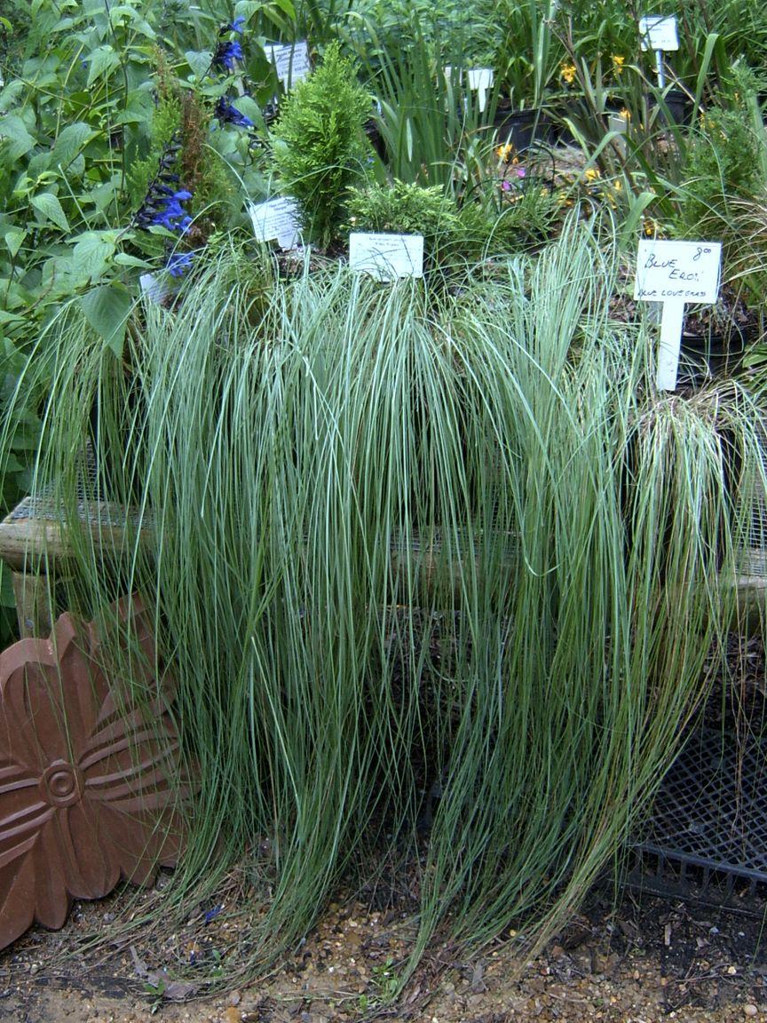 Blue eros grass eragrostis elliotii grasses hostas u ferns