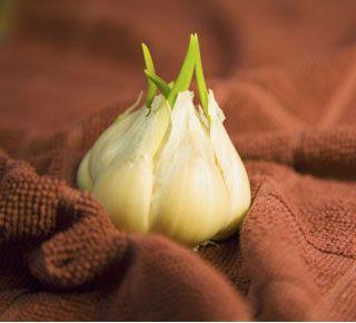 Grow your own garlic!