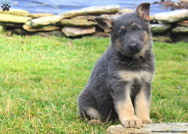 Princess German Shepherd Puppy For Sale In Pennsylvania German
