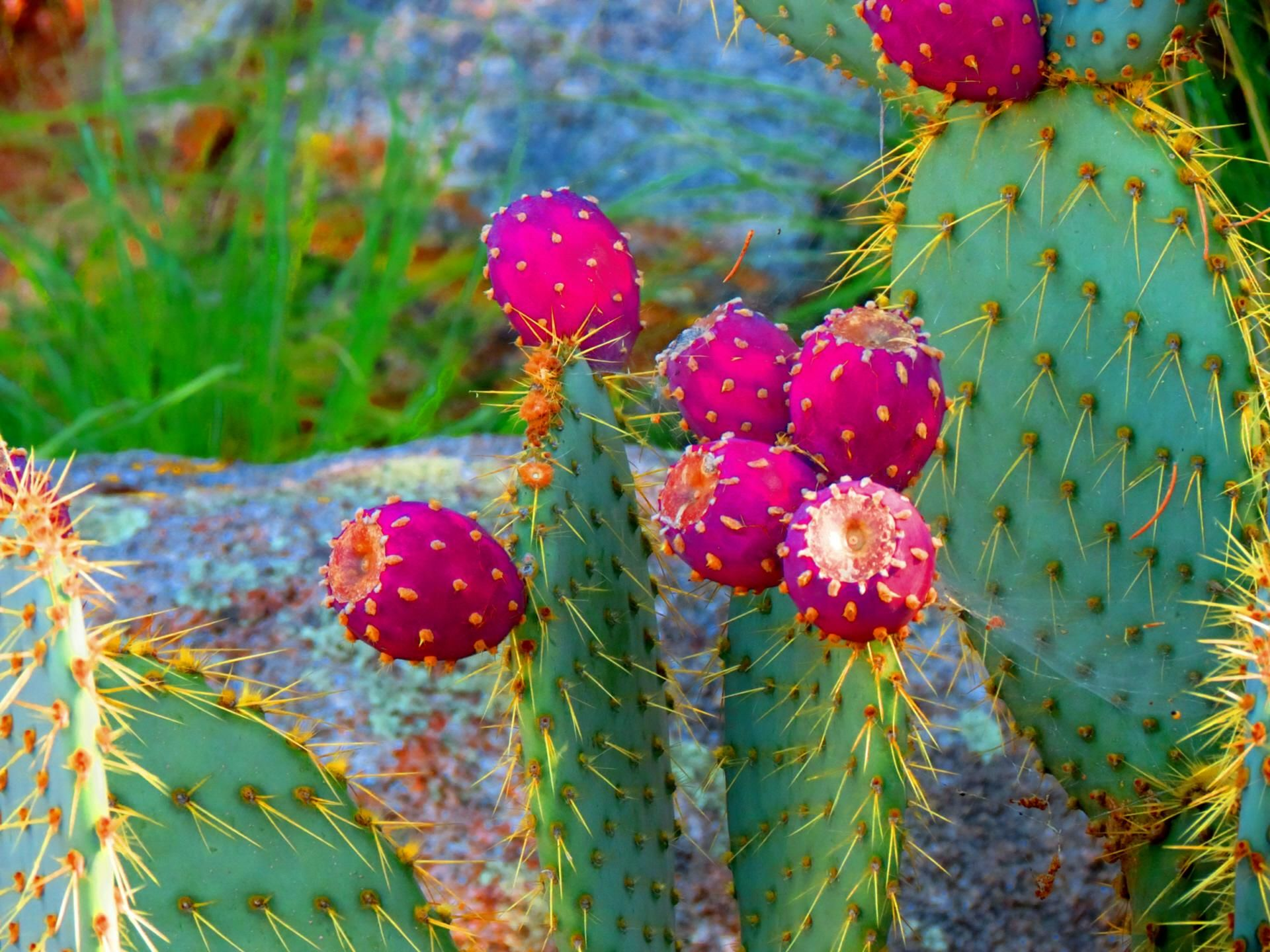 cactus desktop wallpaper — Crafthubs Cactus pictures