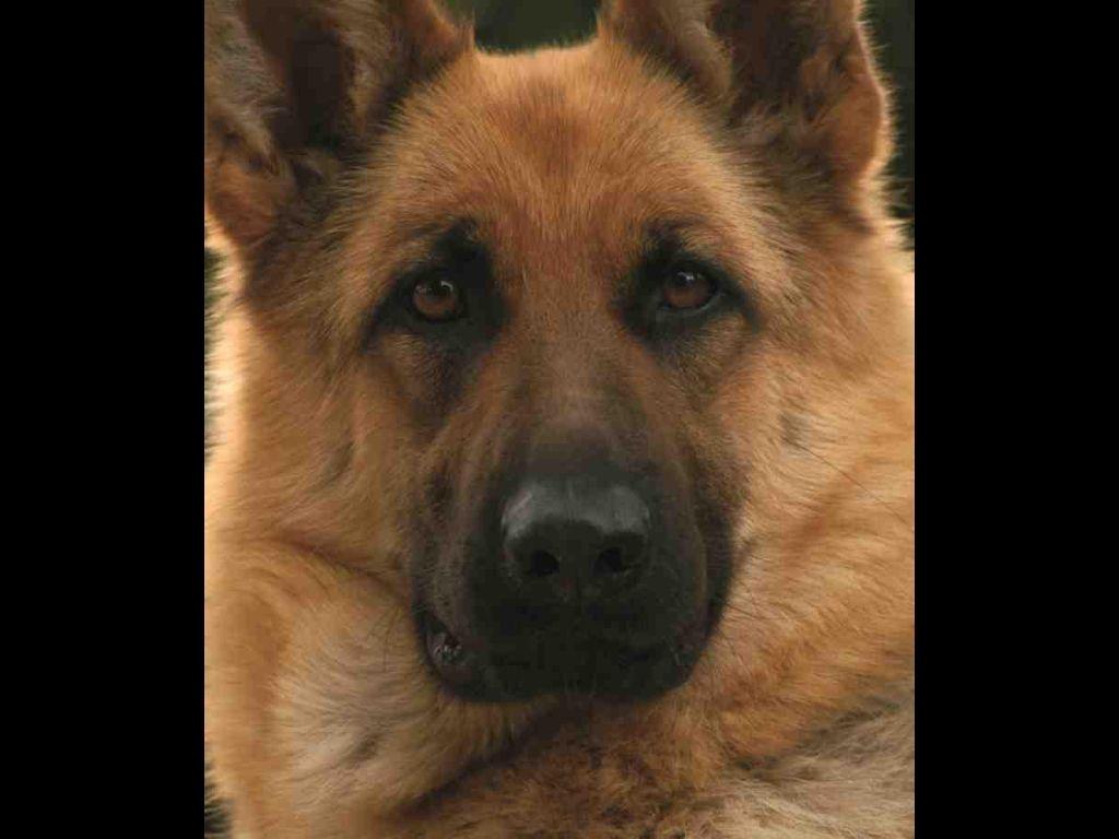German shepherd | Pets | Pinterest