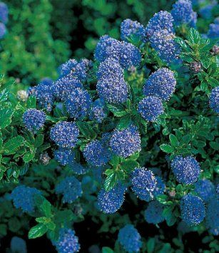 baldur garten immergr ne s ckelblume blauer ceanothus 39 blue mound 39 1 pflanze garten. Black Bedroom Furniture Sets. Home Design Ideas