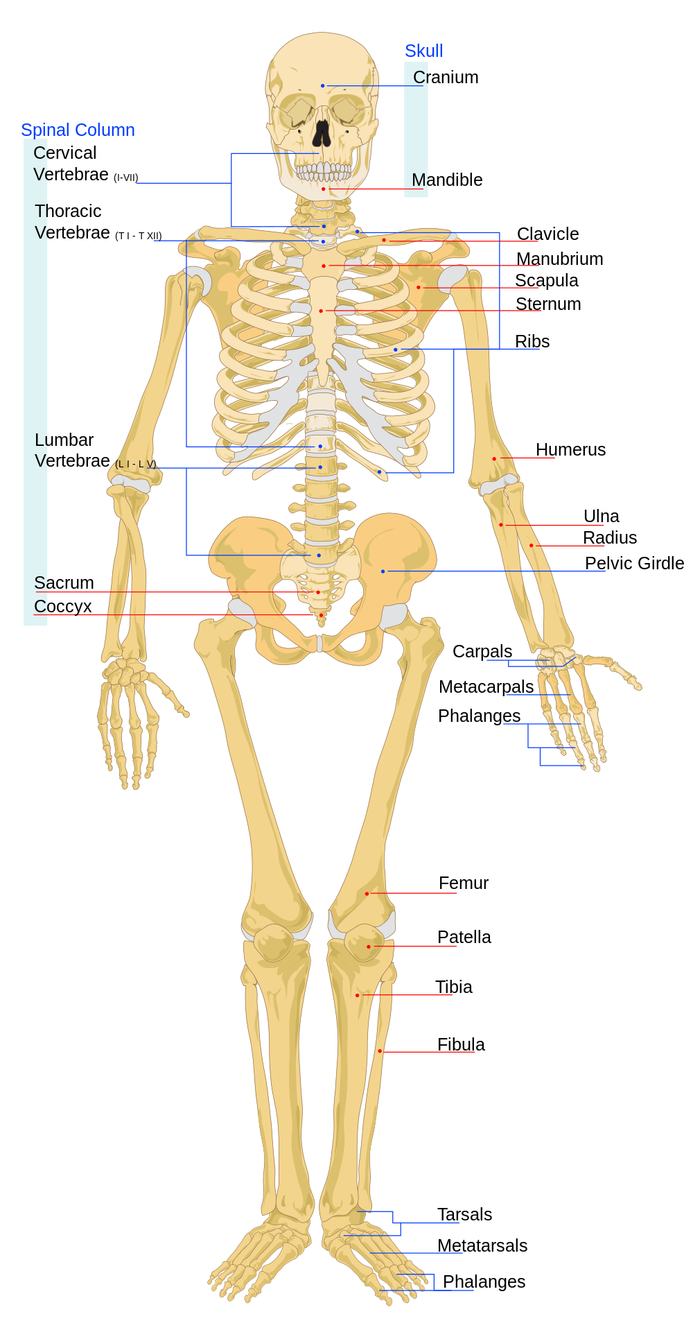 Using Skeletal System Interactive to Learn Skeletal System | Anatomy ...