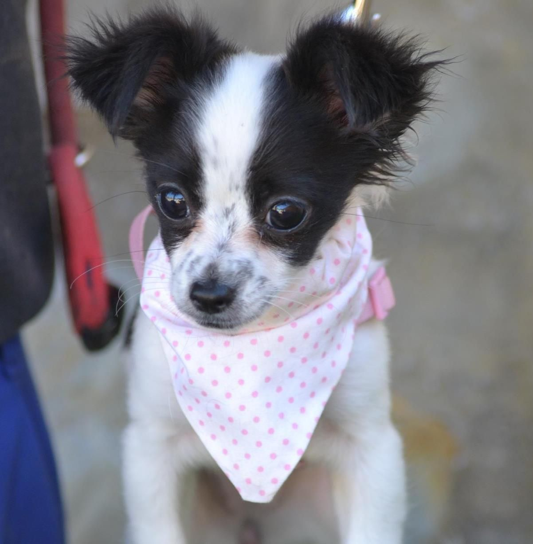 Hund Welpe Chihuahua Mischling Hundin 3 4 Monate Spanien Chihuahua Tiere Suchen Ein Zuhause Beliebte Hunderassen