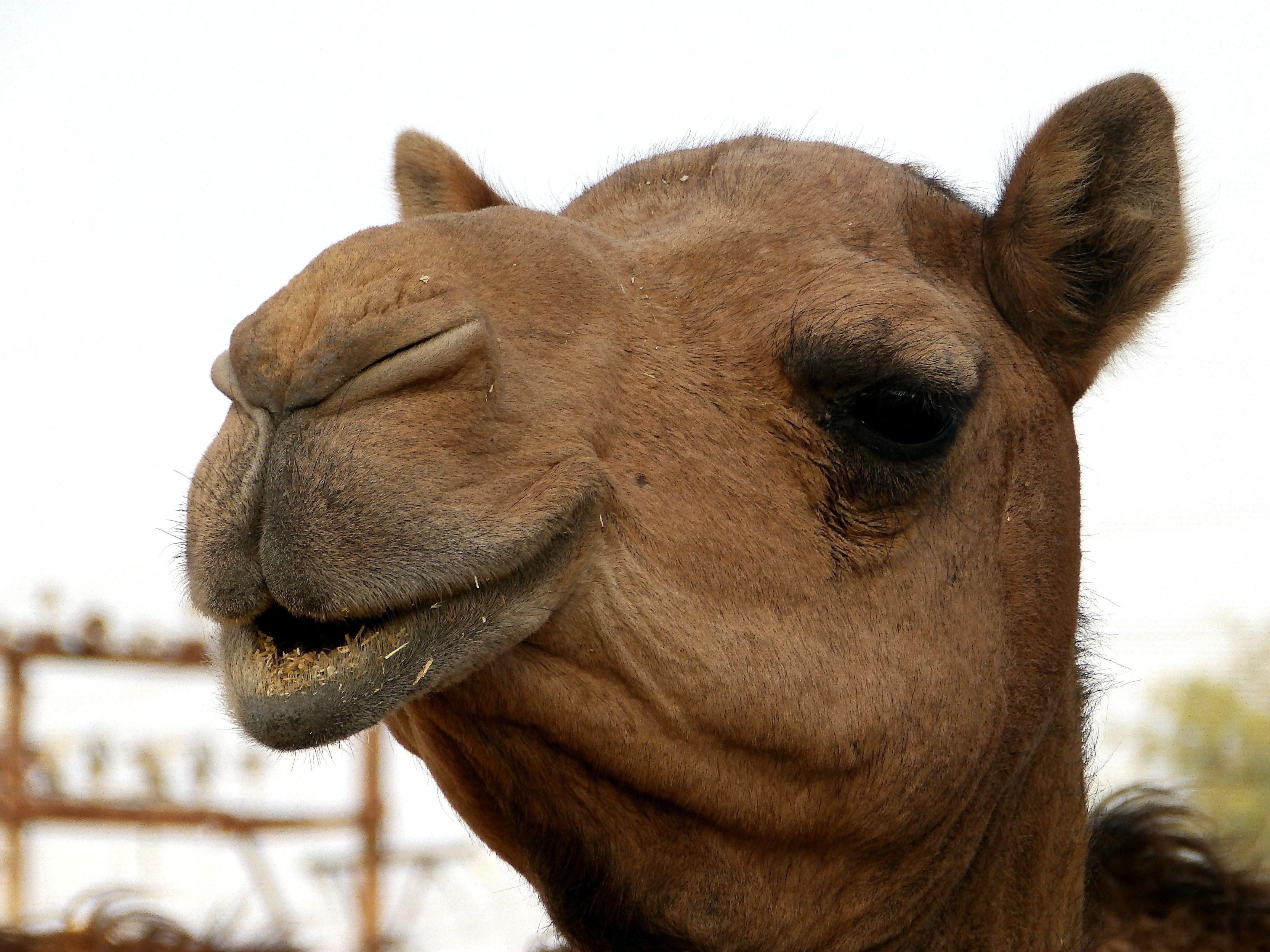 Звуки домашних животных скачать бесплатно верблюд