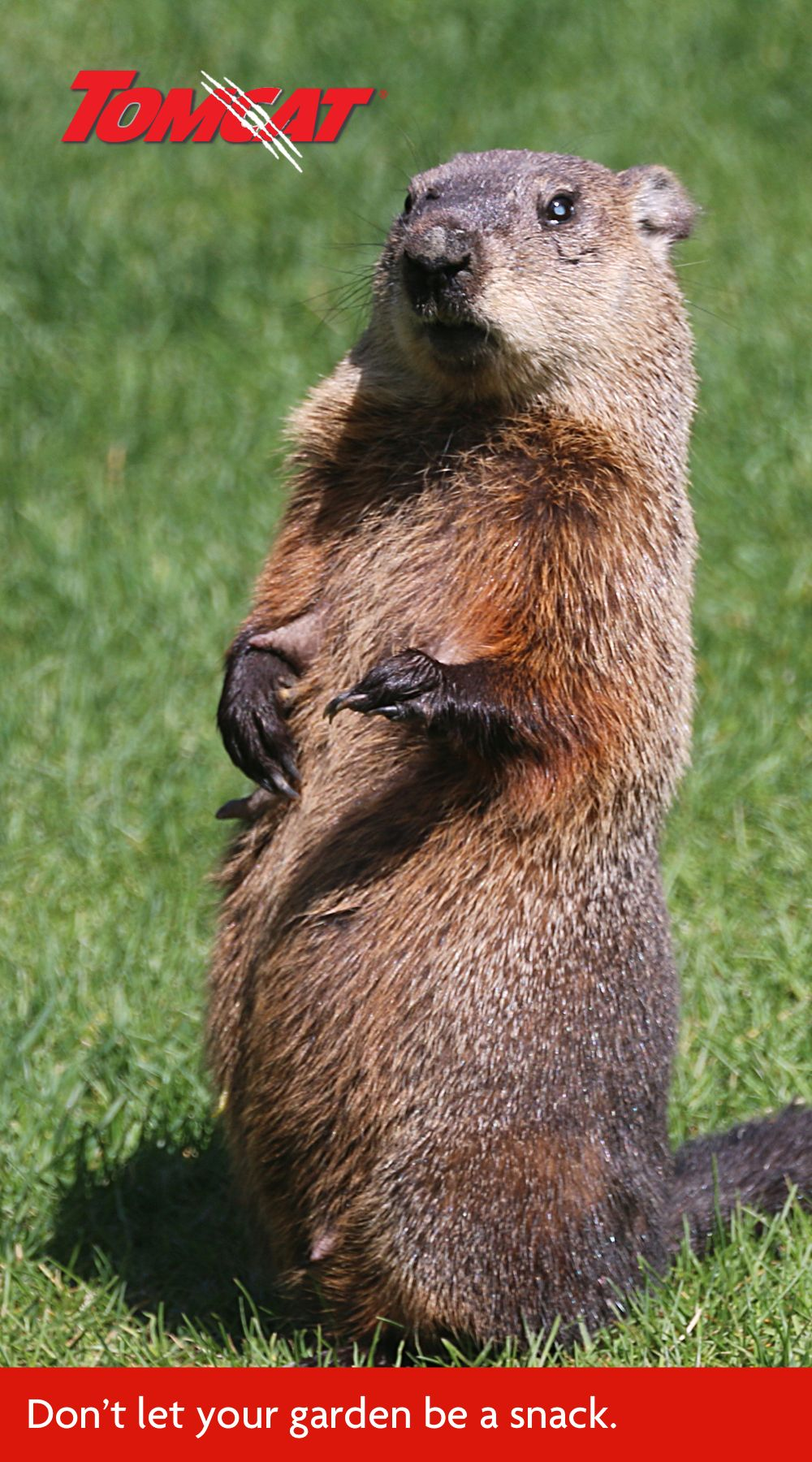 How To Keep Groundhogs Out Of The Yard And Garden Groundhog Garden Harvest Smart Strategy