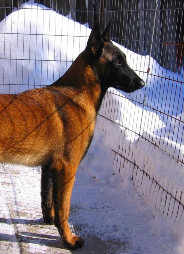 Malinger Kennels Belgian Malinois Malinois Schutzhund