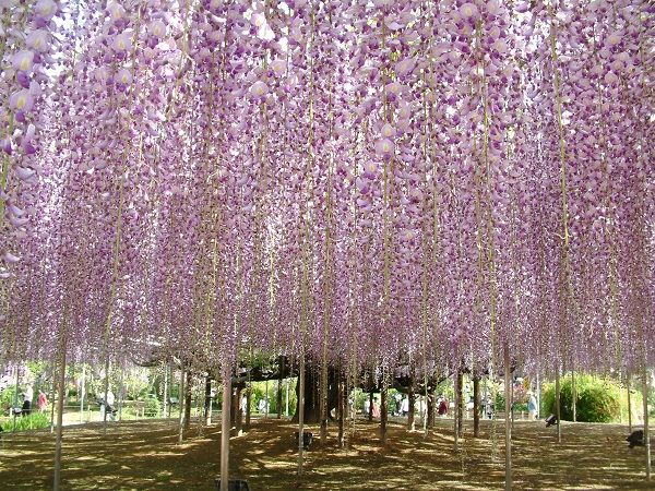Japan Tours And Packages Flower Festival At 2 Major Flower Parks From Tokyo Ashikaga Wisteria One Day Trip