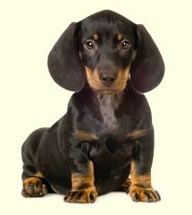 Dachshunds Dog Breed Info Dachshund Dog Weenie Dogs
