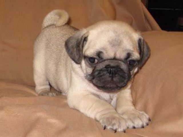 Akc Reg Males And Females Fawn And Black Pug Puppies Pug Puppies