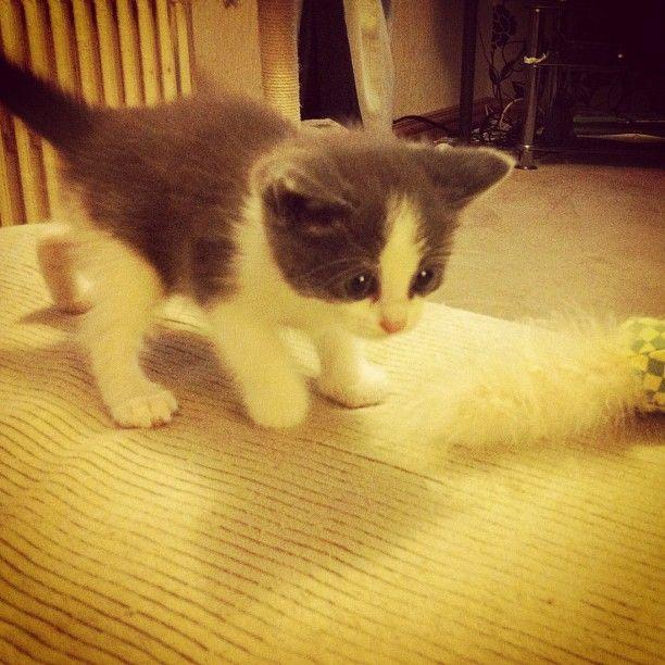 My baby Ragdoll kitten, Audrey <3