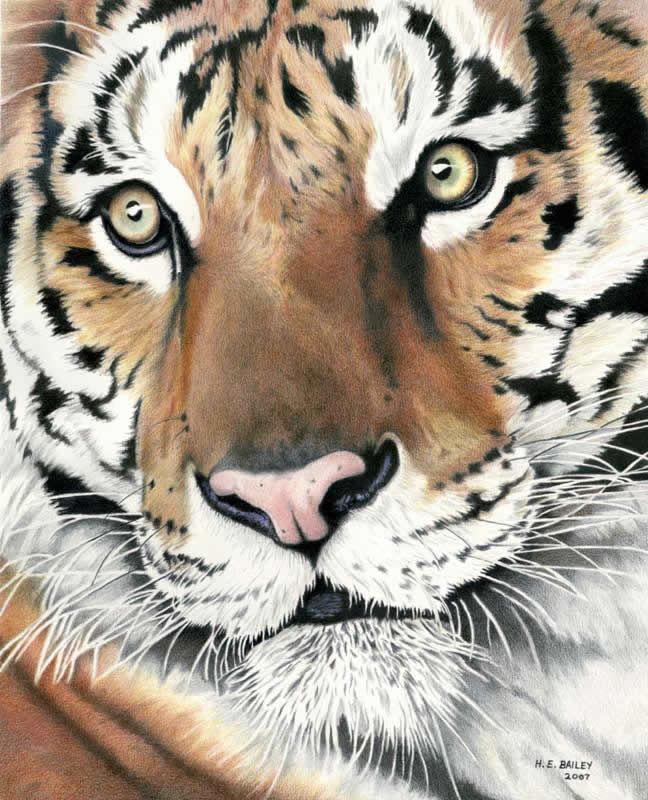 Color Tiger Face Drawing : color, tiger, drawing, Amazing, Colored, Pencil, Tiger, Color