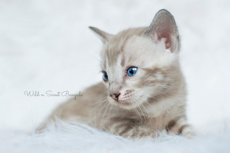 Bengal Kittens Cats For Sale Near Me Bengal Kitten Bengal Kittens For Sale Cat Breeds