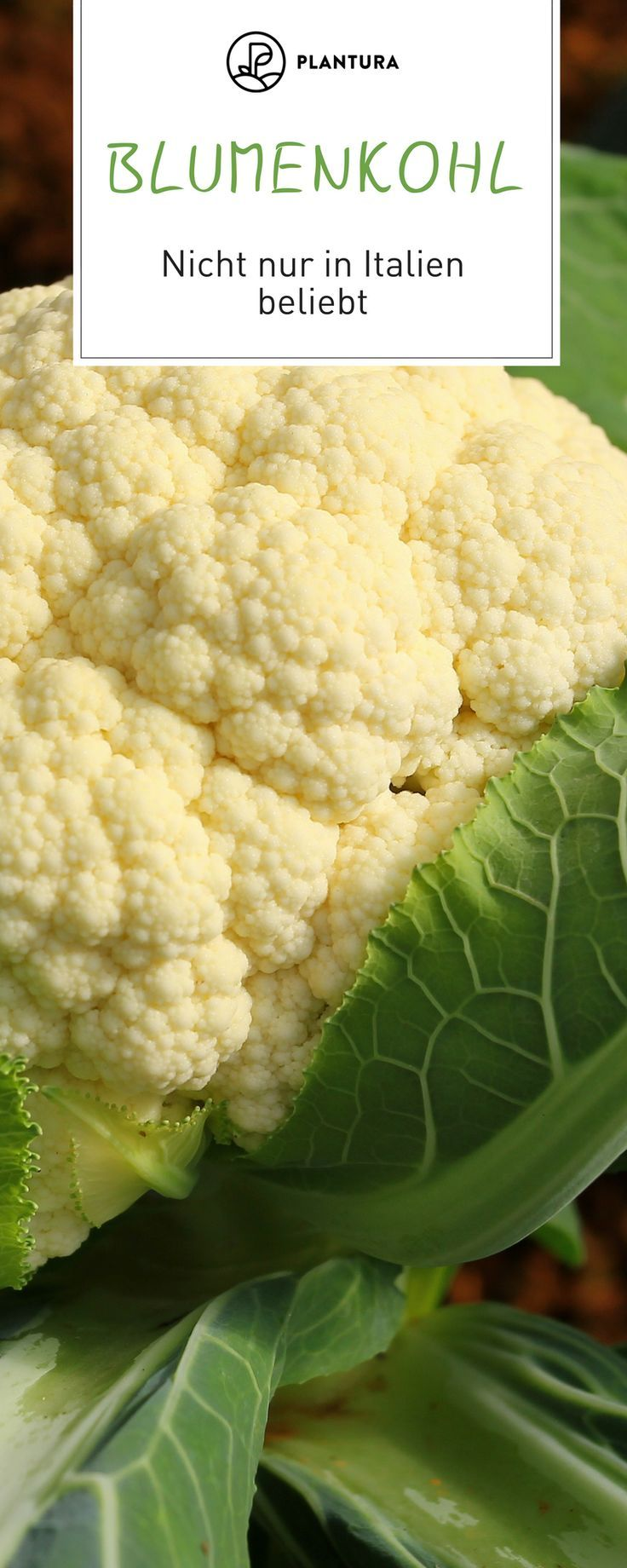 Cauliflower is not only delicious and healthy, but also very multi-faceted. We...  #cauliflower #delicious #faceted #GartenGemüseGemüse #healthy #multi #gemüsegartenanlegen