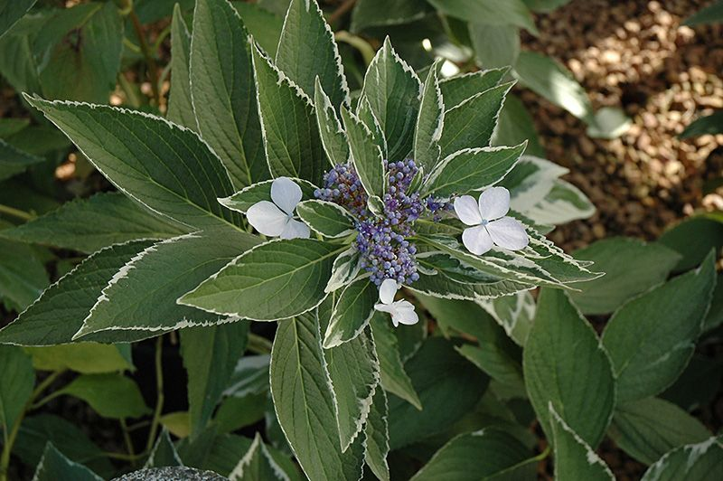 LightODay Hydrangea Hydrangea Macrophylla 'LightODay' At Cool Pasquesi Home And Garden