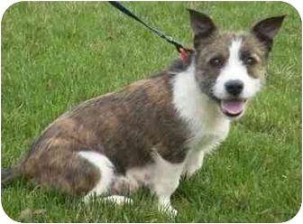 French Bulldog Westie Mix French Bulldog West Highland Terrier Dog Mixes