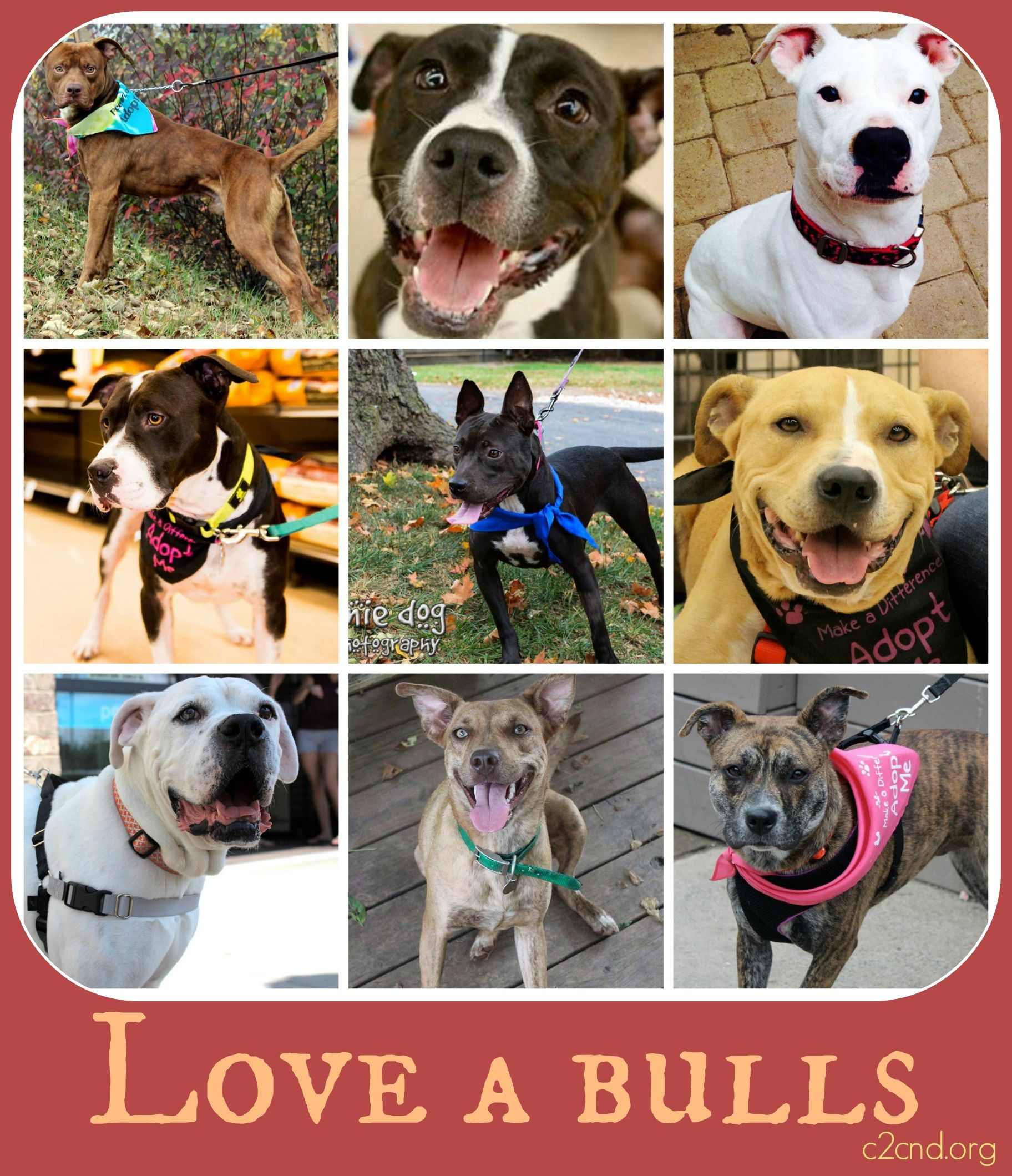 Catering to Cats & Dogs rescue - meet our lovable & adoptable bully mixes! visit c2cnd.org to adopt one!