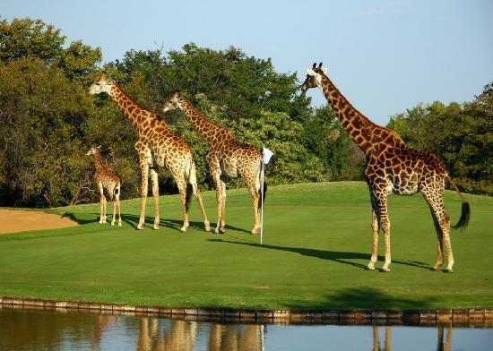 Limpopo Province. Fancy a four-ball  ? Hans Merensky Hotel & Golf Estate