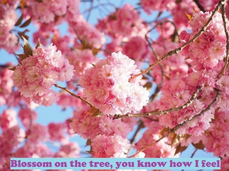 Nina Simone S Feeling Good With Lyrics Art Babamail Flowering Cherry Tree Blossom Trees Cherry Blossom Season