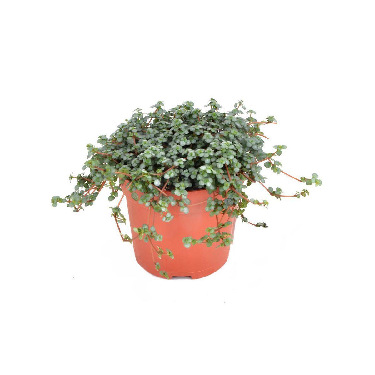 Pilea Glauca Mix 15 Cm Kwiaty Doniczkowe W Atrakcyjnej Cenie W Sklepach Leroy Merlin Indoor Plants Plants Planter Pots