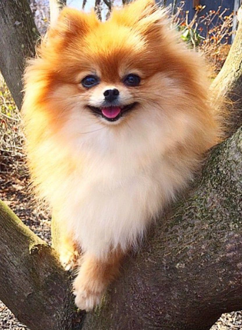 Verrassend Pomeriaan of dwergkees | Bodime Meeuwissen - Honden, Kleine honden QV-11