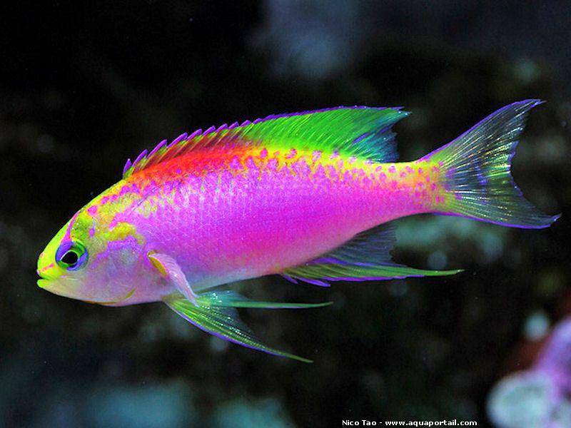 Pseudanthias Ventralis Var Hawaiiensis Fish Aquariums