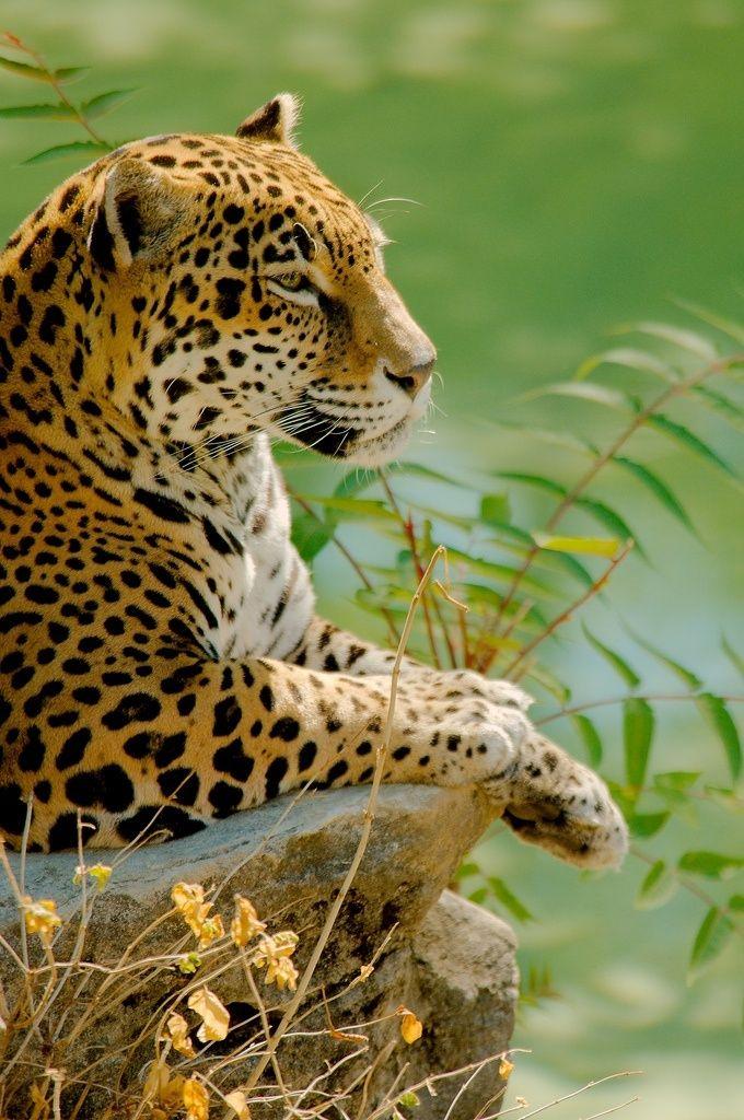 Jaguar Animales Salvajes Fotos De Animales Salvajes Animales