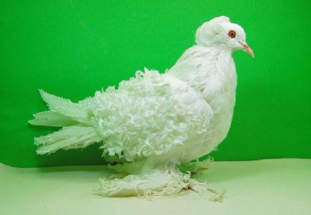 حمام الكيرلي المفتل Bird Birds Animals