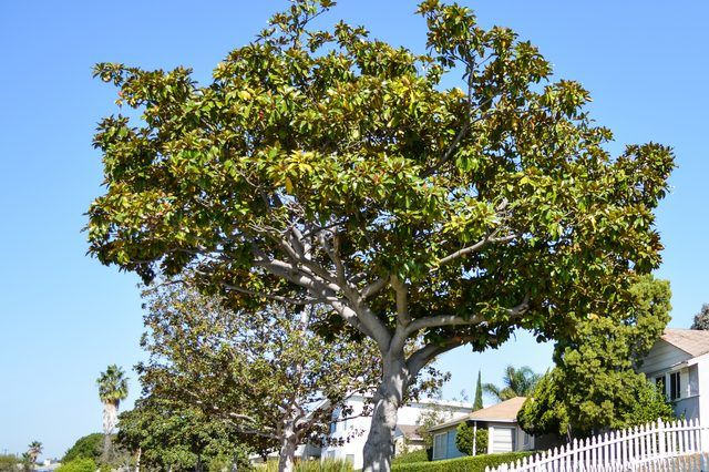How To Fertilize Magnolia Trees