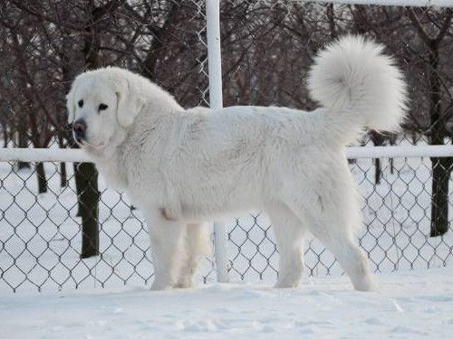 Tatra Shepherd Dog Dog Breeds Top Dog Breeds Dogs