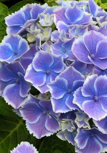 Hydrangea macrophylla 'Mariko'   Flower garden plans ...