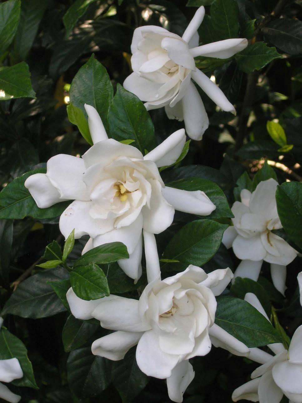 The most fragrant shrubs types of shrubs gardenias evergreen 13 fragrant shrubs izmirmasajfo