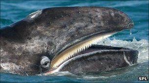 c0b2b6b4721d gray whale, baleen, mouth | Whales | Whale, Blue whale, Whale art