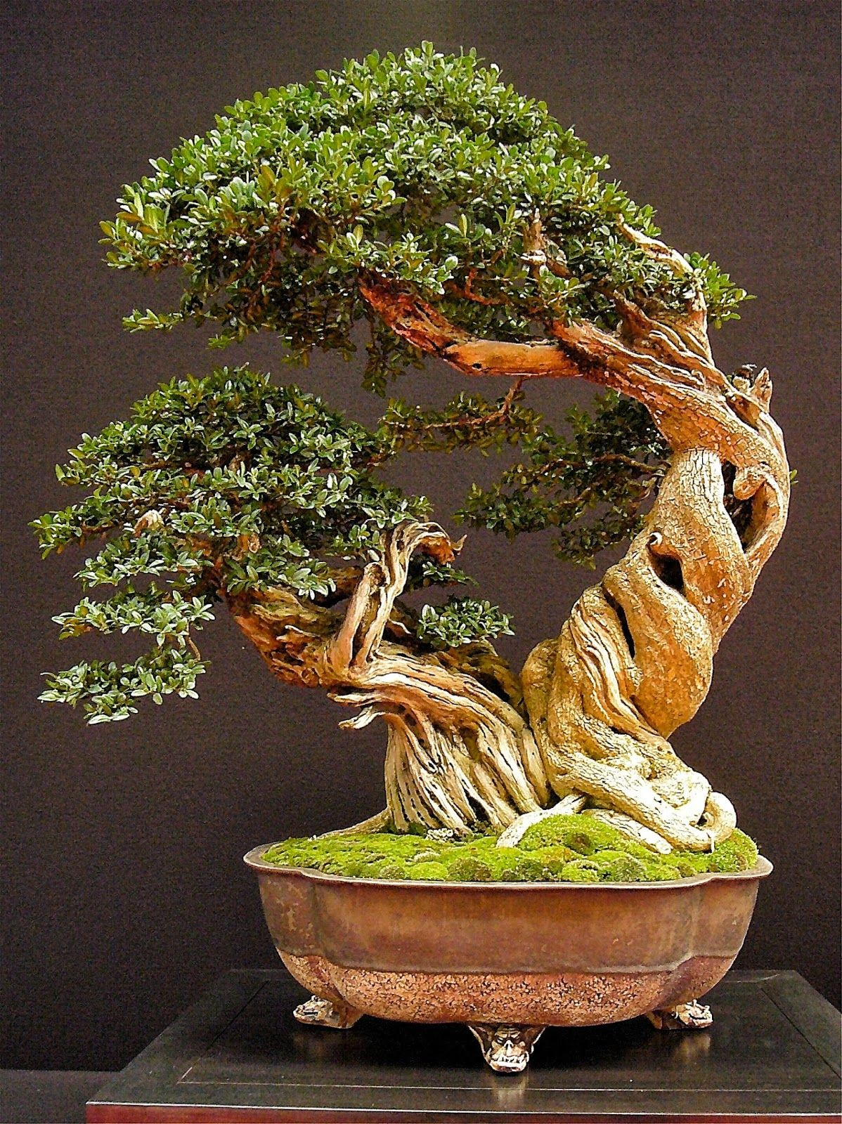 A Stunning Bonsai In A Gorgeous Antique Copper Container